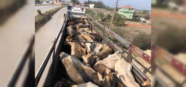 Sağlık raporu olmadan hayvan nakli yapanlar, Jandarmaya yakalandı
