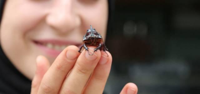 Erbaa'da gergedan böceği bulundu