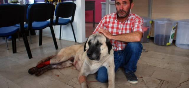 Baltalı saldırıya uğrayan kangal köpeği tedavi altına alındı