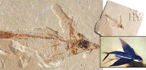 Çin'de 'uçan balık' fosili bulundu