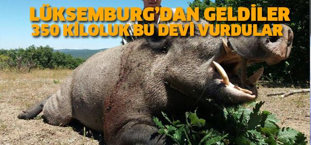 Lüksemburglu avcılar Tokat'ta dev yaban domuzu avladı