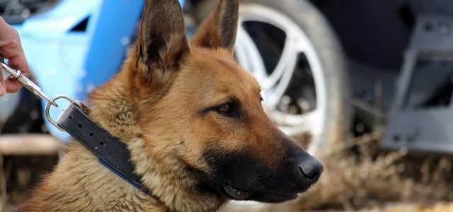 Narkotik köpeği 'Dino' uyuşturucu tacirlerine göz açtırmıyor