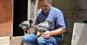 Tavuklar gelin dediğinde geliyor kümese dediğinde kümese giriyor
