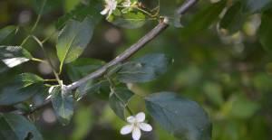 Niksar'da erik ağacı Temmuz ayında ikinci kez çiçek açtı