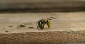 Katil arıların vahşi yaşam alanı görüntülendi
