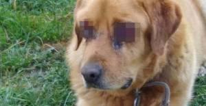 Köpeğin Oyuldu Sanılan Gözlerinde Hastalık Varmış