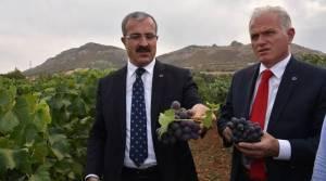 Tokat'ta 18 sofralık üzüm çeşidi denemesi yapılıyor
