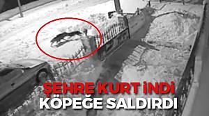Tokat'ta aç kalan kurt şehre inerek köpeğe saldırdı