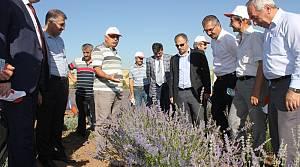 Turhal'da ilk lavanta hasadı yapıldı