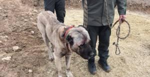 Tokat'ta köpek dövüşü bahisçilerine Jandarma'dan operasyon