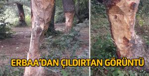Çıra için ağaçları bu hale getirdiler