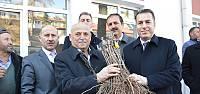 Niksar'da 45 bin adet bağ çubuğu fidanı dağıtıldı