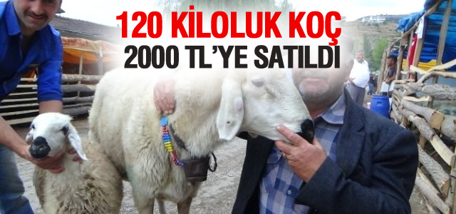 Tokat'ta 120 Kiloluk Koç Kesilmekten Kurtuldu