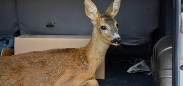 Yaralı bulunan yavru karaca doğaya bırakıldı