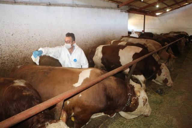 Tokat'ta büyükbaşlara kene ilaçlama çalışması
