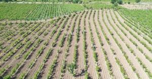 Erbaa yaprağının ilçe ekonomisine katkısı yıllık 90 milyon TL