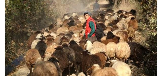 Çoban kardeşlerin zorlu mesaisi