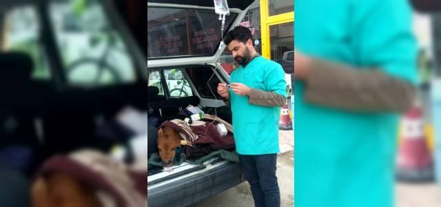 Hasta buzağıya veterinere götürüldüğü otomobilin bagajında serum takıldı