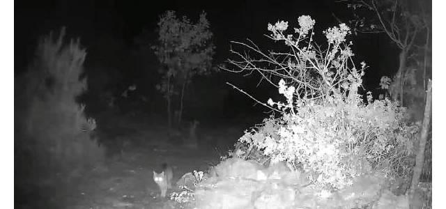 Erbaa'da yaban kedisi fotokapanla görüntülendi
