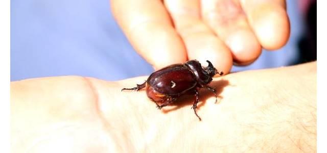 Tokat'ta gergedan böceği bulundu