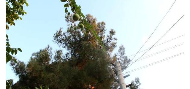 Bahçeye ektiği su kabağı, elektrik tellerine sarılıp ürün verdi