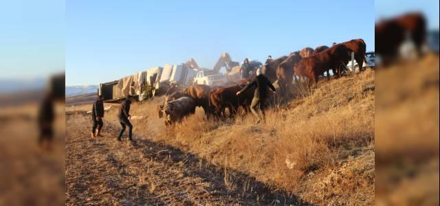 Büyükbaş yüklü TIR devrildi; araziye dağılan hayvanlardan 5'i kayboldu
