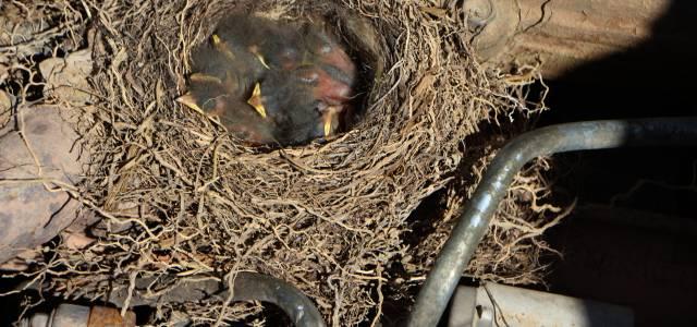 İş makinesinin motoruna yuva yapan kuşun 6 yavrusu oldu
