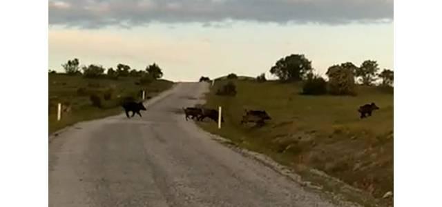 Yaban domuzu sürüsü cep telefonu kamerasıyla görüntülendi