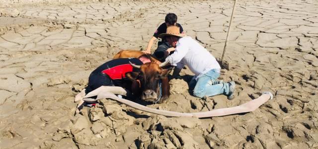 Bataklığa gömülen inek için seferber oldular