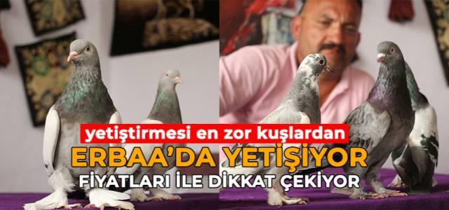 25 bin liraya alıcı bulan taklacı güvercinler, kupaya hazırlanıyor