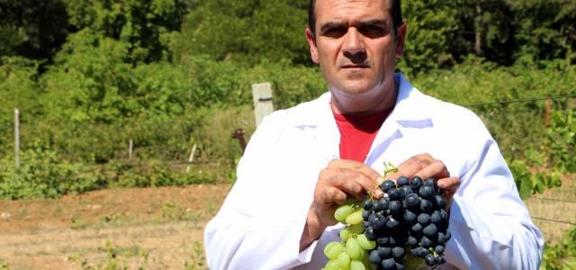 Anadolu'da üzüm üretiminde çeşitliliği artıracak araştırma tamamlandı