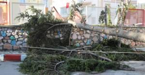 Şiddetli rüzgarda sedir ağacının...
