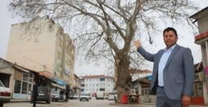 Tokat'ta, yol ortasında kalan 'anıt ağaç' ilgi çekiyor