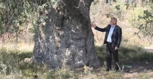 Erbaa#039;nın asırlık ağaçları...