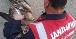 Erbaa'da Jandarmanın yaralı bulduğu baykuşa tedavi