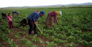 Tokat'ta tarımda mevsimlik işçiler ön planda