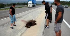 Tokat'ta kamyonetin çarptığı ayı telef oldu