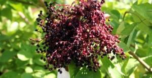 Vitamin deposu 'Mürver' meyvesi Tokat çiftçisiyle tanışacak