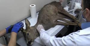 Yaralı halde bulunan karaca tedavi altına alındı
