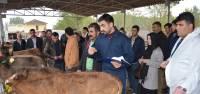 Niksar'da genç çiftçilere damızlık düve dağıtıldı