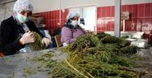 Adana ve Mersin'den Tokat'a getirdiği deniz börülcesini, 3 ülkeye ihraç ediyor